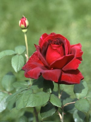 The above Mister Lincoln dark red rose has been a top seller since 1965, for the past 51 years. It displays both exceptional color and fragrance. Richard Poffenbaugh Photo.