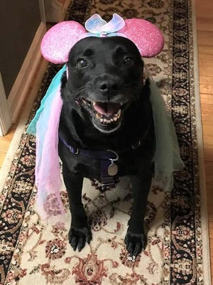 [PHOTO PROVIDED]Maxie, an 8-year-old Lab mix, was living with an elderly man in Greenwood Lake who went into the hospital in February 2019. She was found sitting on a soiled bed in a foul smelling, dirty, fallen down house. The man passed away, and the house was condemned. Maxie is now happy and healthy living with the Grady family of Warwick.