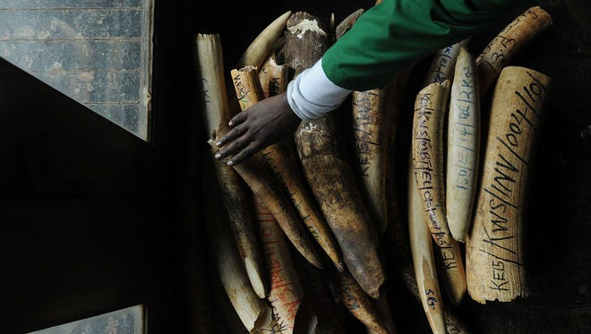 A staff member with the Kenya Wildlife Services does an inventory of illegal elephant ivory stockpiles at its headquarters in Nairobi on July 21, 2015.