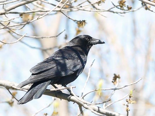 635980622680398300-FON-050516-crow.jpg