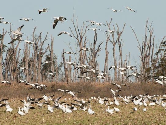 Snow geese can be found in some parts of Delaware, including Prime Hook National Wildlife Refuge near Milton. But birders are reporting fewer sightings than in previous years.