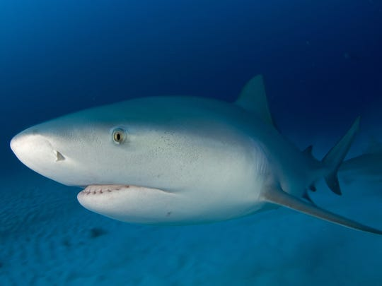 Bull shark FILE PHOTO.jpg