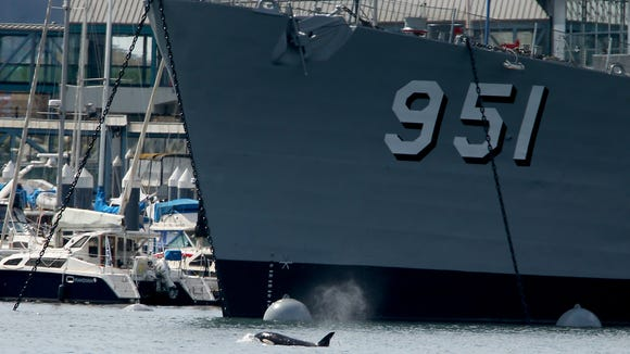 An orca surfaces near the bow of the USS Turner Joy in Bremerton.