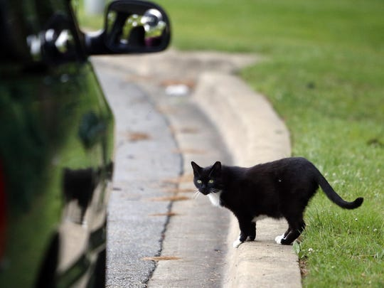 A stray cat approaches a vehicle driven by John Baranowski, of New Castle, on Friday. State lawmakers are considering legislation to change rules on caring for stray cats.