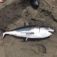 Redding woman injured at Trinidad State Beach. Was it a zombie shark?