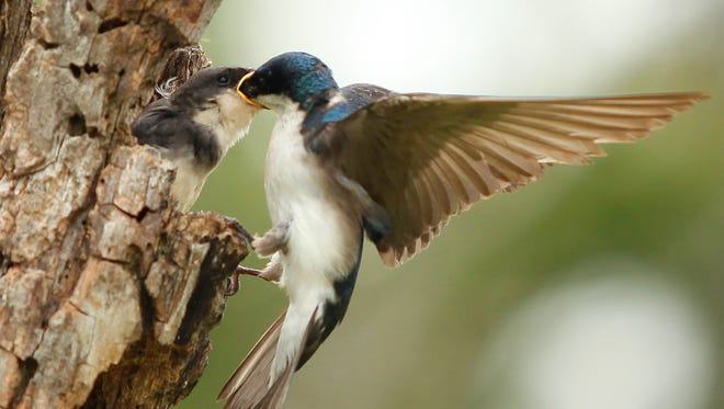 A tree swallow feeds it's baby in Horicon Marsh.