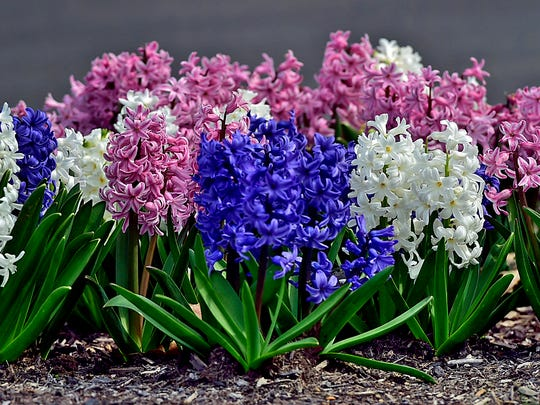 A mixed group of colorful flowers, including hyacinths, known for blooming in mid spring, are on the grounds beneath the giant American flag at Chambersburg Memorial Park.