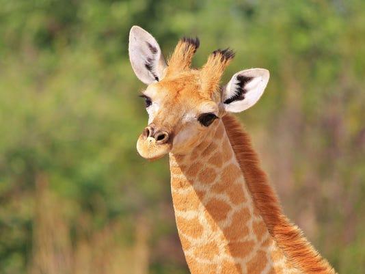 Giraffe Background - The cutest animals around
