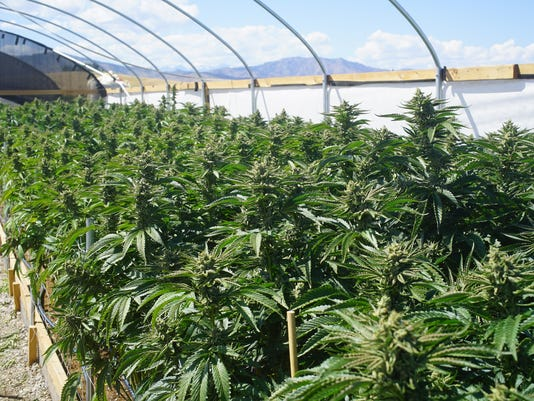 Outdoor Bright Greenhouse Full of Mature Marijuana Plants