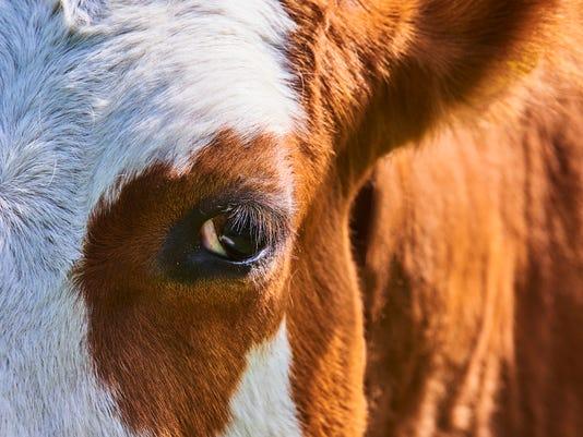 #stockphoto Cow Stock Photo