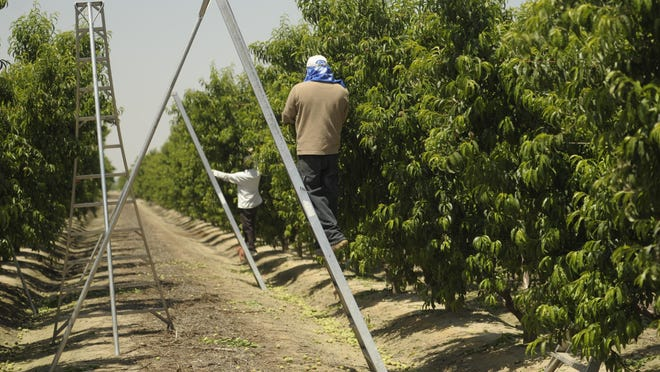 A crew of field workers thin out peach trees in this 2014 file photo.