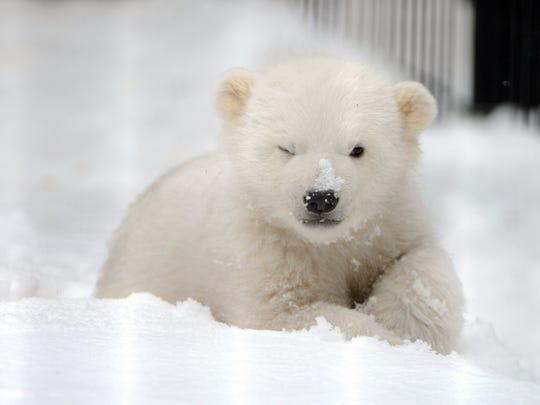 AP_Orphaned_Polar_Bear_Cub
