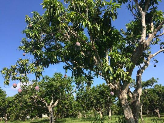 The Mango Factory features 25 acres and 1,000 mango trees in Bokeelia.