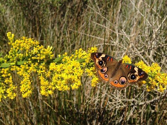 Buckeye Butterfly on Seaside Goldenrod