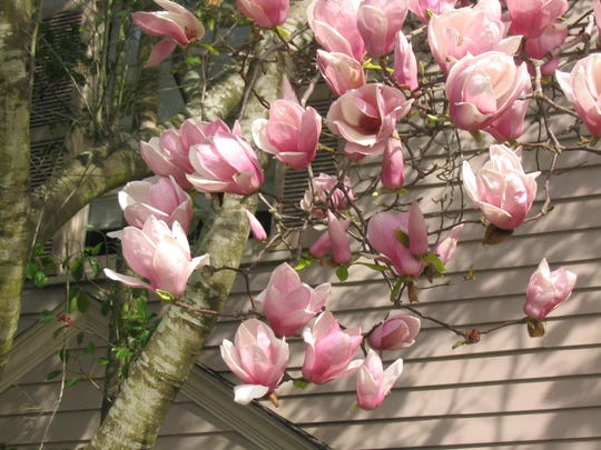 Japanese Magnolia Flowers