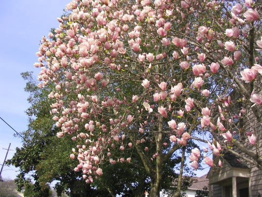 Mature Japanese Magnolia