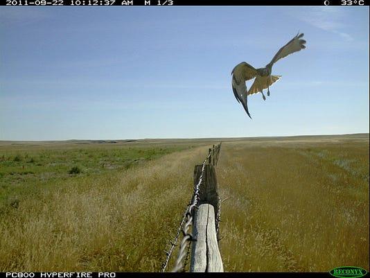 fence swainson's hawk