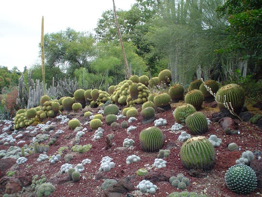 The new lava flow at The Huntington with its white clumps of fuzzy Mammilarias that pop against the dark red stone.