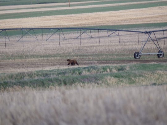 Observations of grizzly bears on the plains have been numerous this spring including this one spotted outside of Conrad earlier this month.