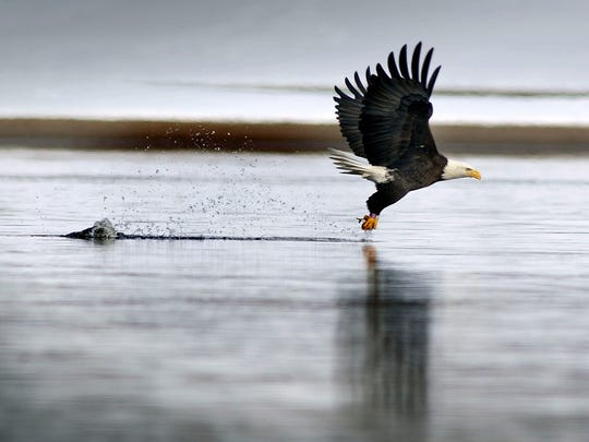 A bald eagle carries a small fish in its talons and