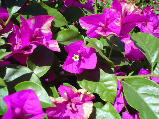 The least messy of all bougies, 'Purple Queen' also features plenty of bright green lush foliage.