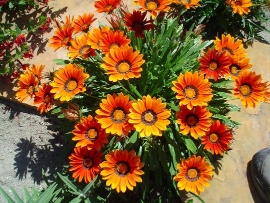 First year gazania in the author's Palm Springs garden in flagstone gaps.