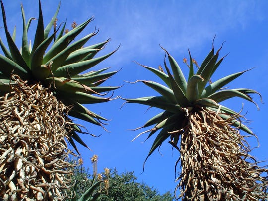 Tall arborescent aloe species are outstanding specimens where space is limited and height is desirable.