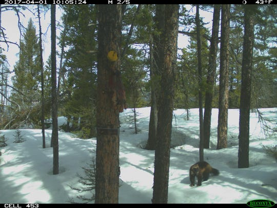 A wolverine visited this site baited with a beaver carcass on Benchmark Road on April 5.