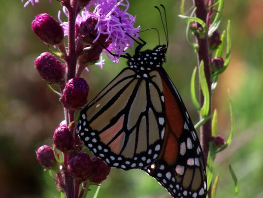 APC 081114 Yard MD BLOG Moving for Monarchs.JPG