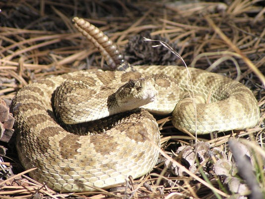 rattlesnakes_fort_collins