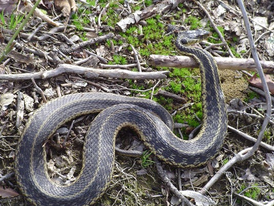 Put the shovel down — snakes aren't worse this year