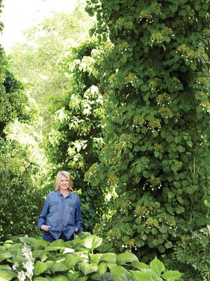 """Martha Stewart stands at the entrance to her property, where there is a large garden shaded by towering spruces, old maples and several 20-foot tall """"stumps"""" of hurricane-damaged spruces. Each trunk is covered in dense green  climbing hydrangeas."""