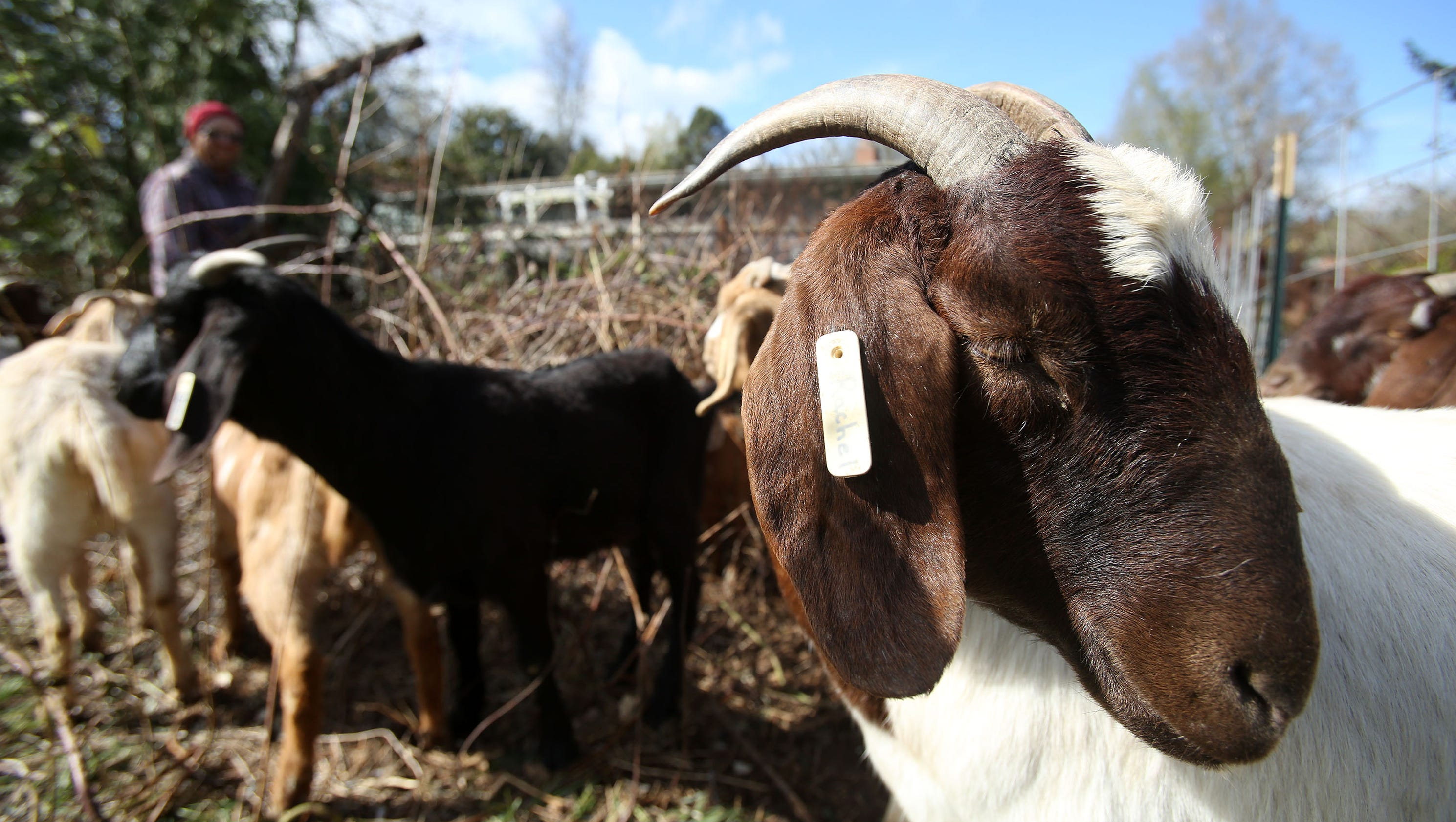 Weed eating goats