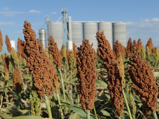Fields of grain sorghum in Kansas
