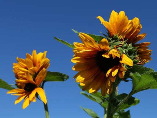 A double-headed sunflower is seen at the Marion Demonstration Garden.