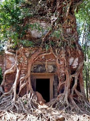 A tree grows around one of the temple ruins at Siem Reap, Cambodia.