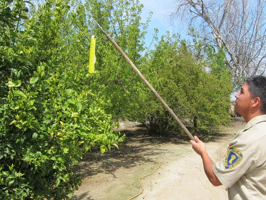 A California Department of Food and Agriculture technician checks a trap for Asian citrus psyllids on a citrus tree at a residential property in Southern California. The psyllids, which can spread HLB,a bacteria deadly to citrus trees. Starting in early Junes, the CDFA will begin conducting inspections of residential citrus trees in the south Valley looking for the insects and signs of HLB.