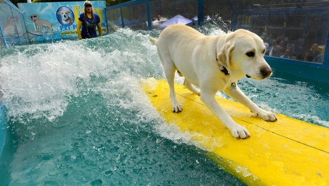 Haole catches a wave on the Lucy Pet Gnarly Crank'n K-9 Wavemaker in Thousand Oaks in October. The Ventura yellow Lab will be surfing again on a float in the 2017 Rose Parade in Pasadena.