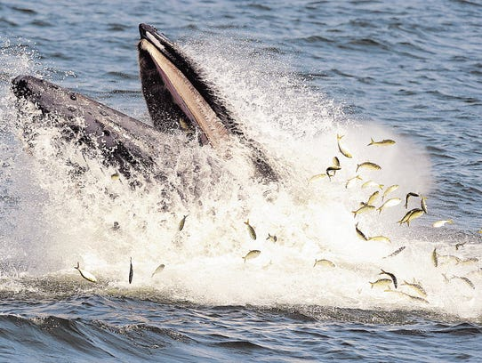 A humpback scooping up a school of menhaden off the