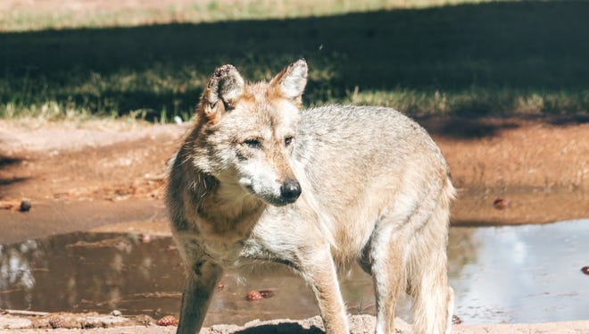 A Mexican gray wolf pauses for a drink. The endangered species has been the subject of controversy in New Mexico