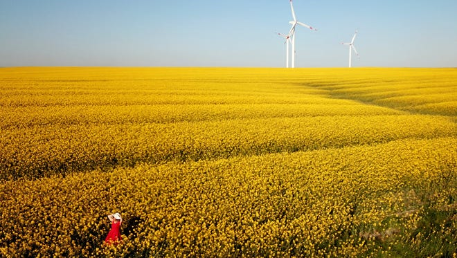 A woman walks in a canola field. With precipitous drops in the price of corn, wheat and other crops traditionally grown in Kansas, some farmers are seeking alternative growing options.