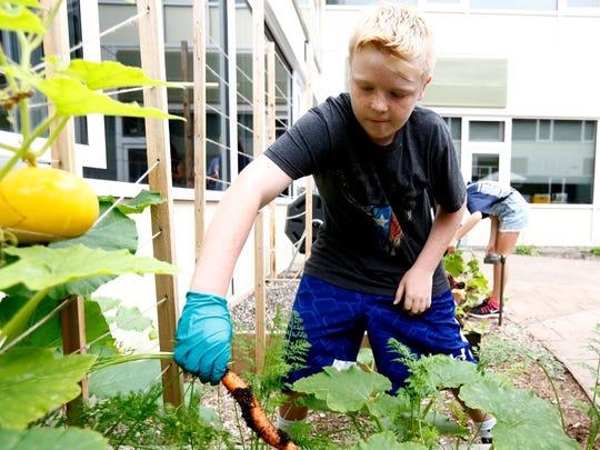 Joe Ryan, 9, harvests carrots in the courtyard garden at the Viola Elementary School in Montebello on Thursday, September 14, 2017.
