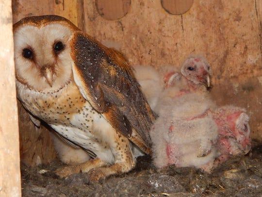 A barn owl inside a nesting box.