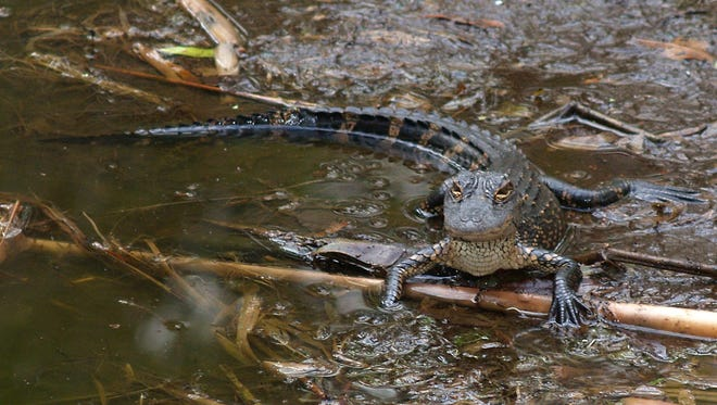 Baby gators can now be seen during a free nature walk at the Briggs Nature Center.