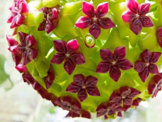 Enjoy-C.Gorman-Small-Botanicals-and-Insects-series-Hoya.jpg