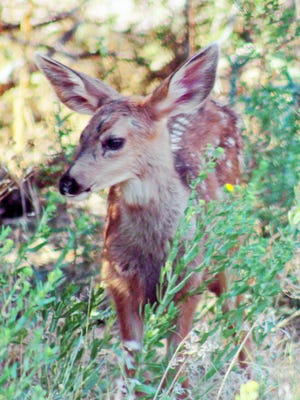 A spotted fawn browses among vegetation under a shade tree in Canon City this week. The fawn and its twin were sticking close to their mother.