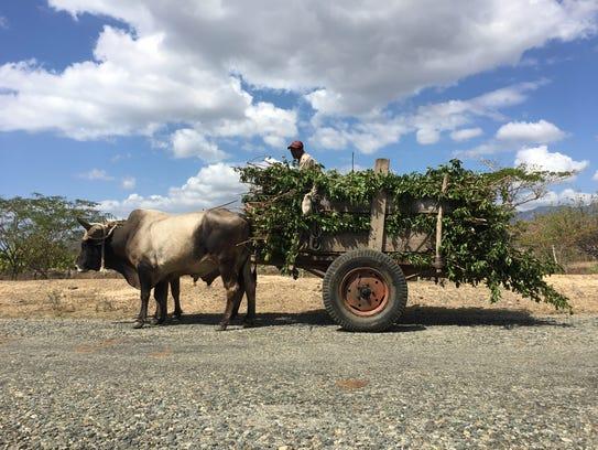 A farmer drives an ox-pulled cart near the town of