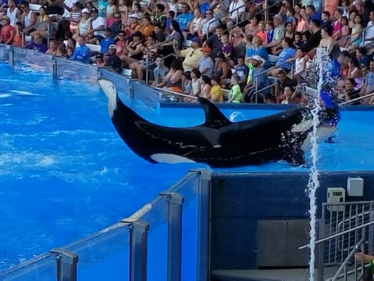 This orca, otherwise known as a killer whale, swims