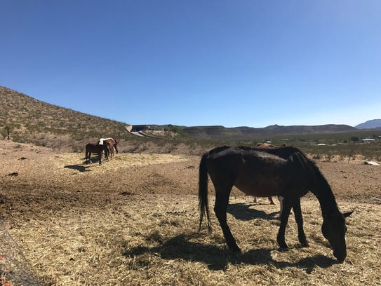 Horses graze on their new pasture on Tuesday at the