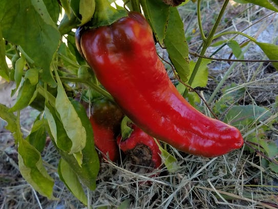 Sweet Carmen peppers are a thin-fleshed, very sweet